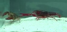 Social harassment induces anxiety-like behaviour in crayfish by Julien Bacqué-Cazenave, Daniel Cattaert, Jean-Paul Delbecque* and Pascal Fossat*