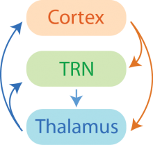 The Cognitive Thalamus and mental representations
